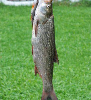 Taaakie ryby biorą w Bugu.